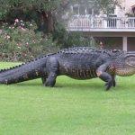 Nằm mơ thấy cá sấu là điềm lành hay dữ, đánh đề bao nhiêu