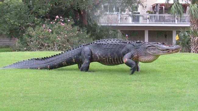 Mơ thấy cá sấu đánh con gì?