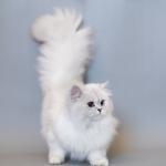 Mơ thấy mèo trắng là điềm gì? Đánh con gì?