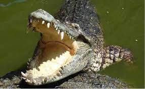 Mơ thấy cá sấu